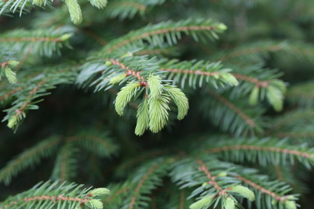 Coniferous trees in forest  Needles close-up