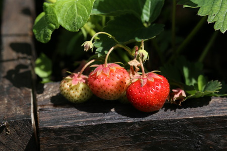 Strawberries  Harvest strawberries. Strawberry bushes with berries.