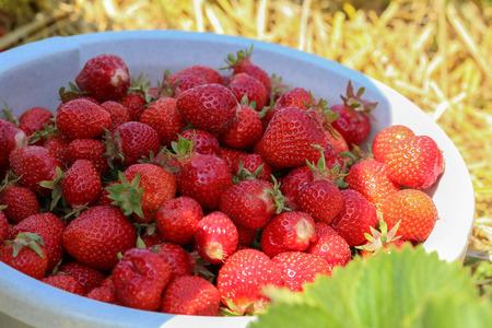 Erdbeeren  Ernte Erdbeeren. Erdbeersträucher mit Beeren.