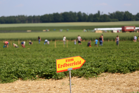 Strawberry field. The inscription on the plate in English: To the strawberry field. Lizenzfreie Bilder