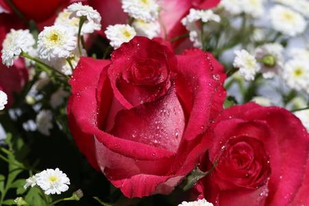 Blumen  Schöne Rosen im Garten