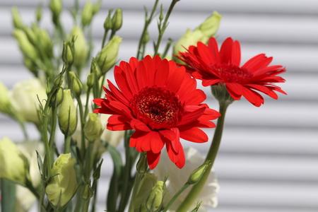Garden  Gerbera - a very beautiful summer colors Lizenzfreie Bilder