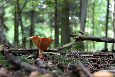 Forest  Wild mushrooms grow on the stump