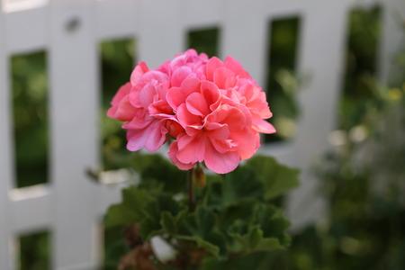 Geranium - Beautiful garden flowers  blossom in summer Lizenzfreie Bilder