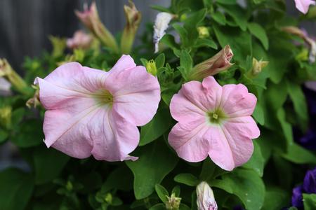 Petunia - a very beautiful summer flowers Lizenzfreie Bilder