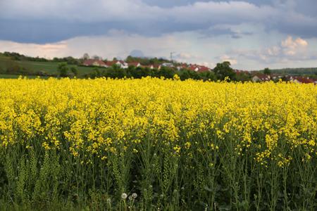 Natürliche landwirtschaftliche Rapsplantage. Felder mit gelben und grünen Naturpflanzen.