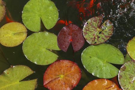 Water lily - Beautiful flowers grow in ponds Standard-Bild
