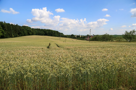Agriculture  Harvest  Spikes in the field