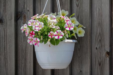 Petunia - ein sehr schöner Sommer