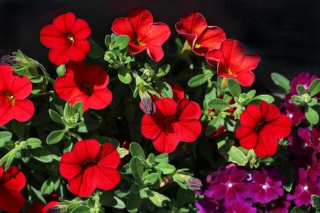Petunia - a very beautiful summer flowers Standard-Bild