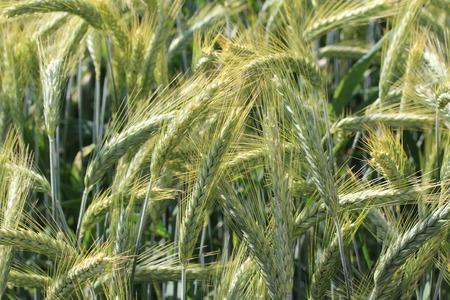 Green ears of corn on the wheat field