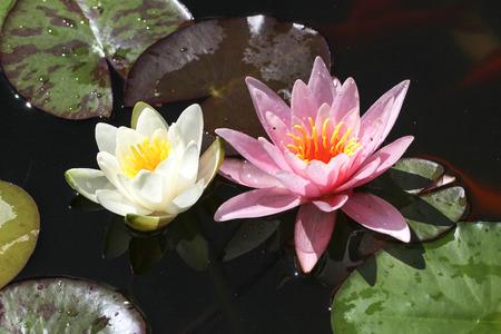 Water lily - Beautiful flowers grow in ponds Lizenzfreie Bilder