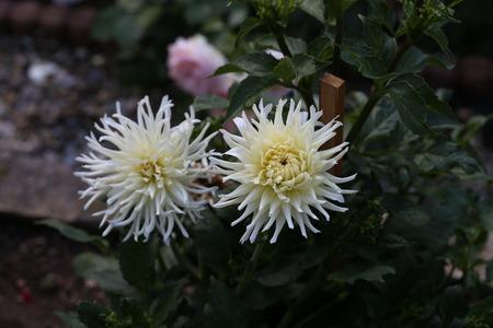 Garden  Dahlia - a very beautiful autumn colors Standard-Bild