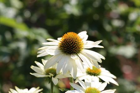 Daisy  Beautiful spring flowers in a meadow