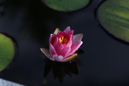 Seerose - Schöne Blumen wachsen in Teichen
