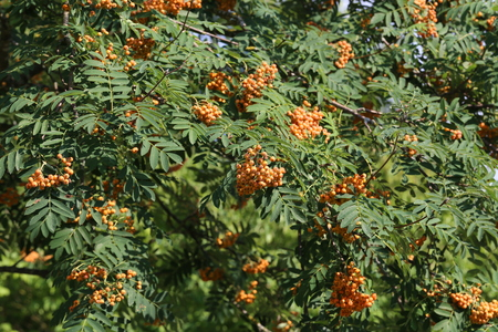Red rowan berries ripen on the branches