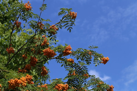 sorbus: Red rowan berries ripen on the branches