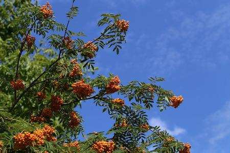 Rote Vogelbeeren reifen auf den Zweigen Lizenzfreie Bilder