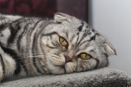 Portrait of a beautiful purebred housecat  British Shorthair kitten