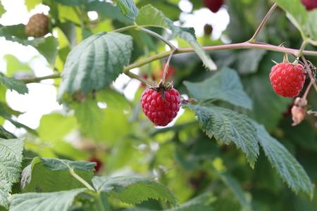 Berrys time  Ripe raspberries on the bush Lizenzfreie Bilder