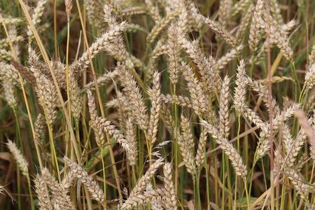Landwirtschaft  Ernte  Spikes auf dem Feld