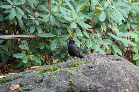 Blackbird  Thrush in search of food jumps on stones