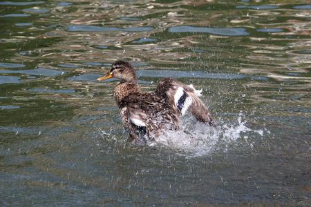 Birds  Ducks splashing on the lake