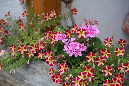 Geranium and Petunia - a beautiful summer flowers