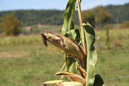 Agriculture  corn field  corn silage Standard-Bild - 110628198