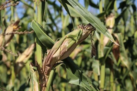Agriculture  corn field  corn silage Standard-Bild - 110628156