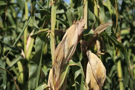 Agriculture  corn field  corn silage Standard-Bild - 110628177