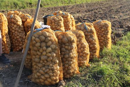 Agriculture / Potato harvesting in the farm Standard-Bild - 111689844