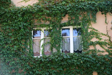 Beautiful leaves / Beautiful leaves of wild grapes Standard-Bild - 111689851