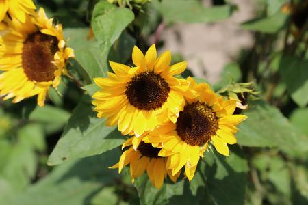 Yellow sunflower in green field Standard-Bild - 110810426