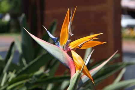 Paradiesvogel - Strelitzia reginae