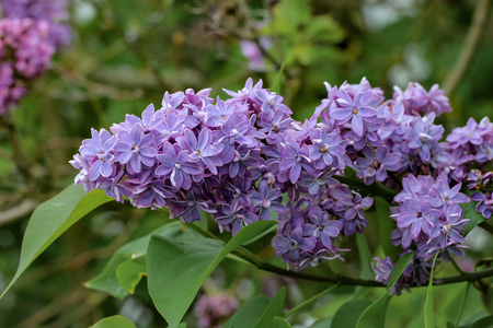 Spring  blooming lilac in the garden