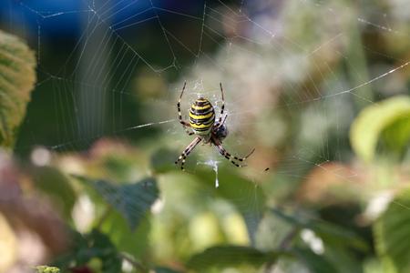 Wasp spider, Argiope bruennichi, Lizenzfreie Bilder