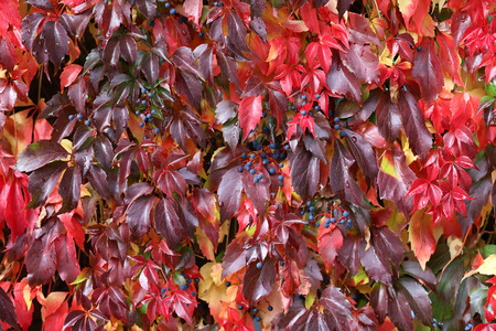 Hintergrund / Schöne Herbstblätter von wilden Trauben Standard-Bild - 88207829