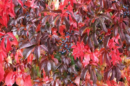 Hintergrund / Schöne Herbstblätter von wilden Trauben Standard-Bild - 88207832
