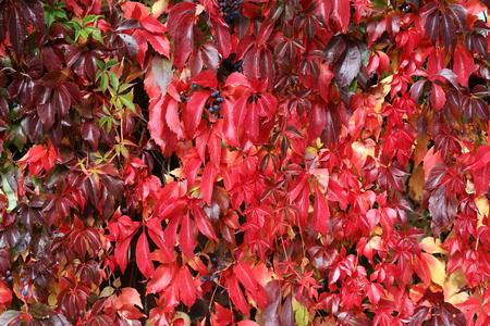 Hintergrund / Schöne Herbstblätter von wilden Trauben Standard-Bild - 88207837
