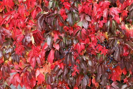 Hintergrund / Schöne Herbstblätter von wilden Trauben Standard-Bild - 88207843