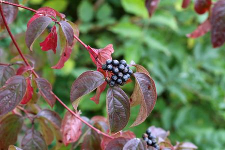 Schwarze Beeren an Zweigen