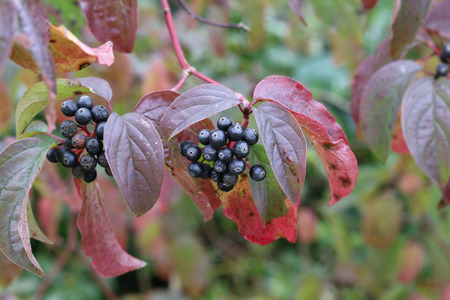 Black berries on branches