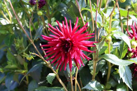 Garden  Dahlia - a very beautiful autumn colors Imagens