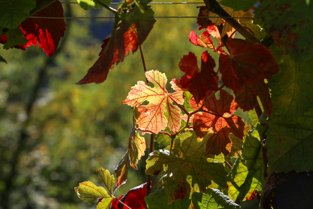 Autumn leaves of grapes Standard-Bild - 111689814