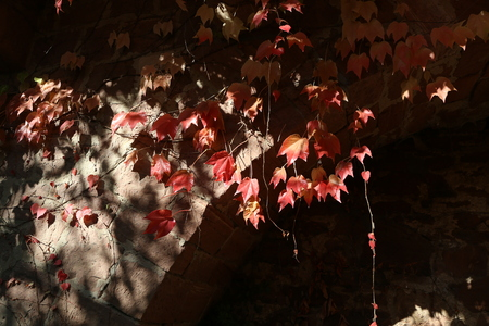 Beautiful autumn leaves of wild winery on the wall of the house Standard-Bild - 111689653