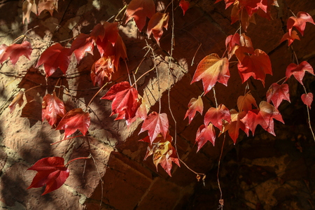 Beautiful autumn leaves of wild winery on the wall of the house Standard-Bild - 111689654