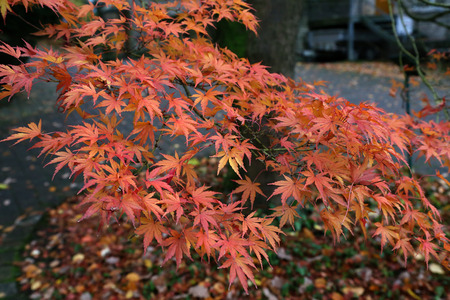 Beautiful autumn leaves  Beautiful autumn leaves on a tree in the forest Standard-Bild - 110763941