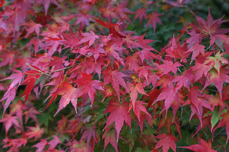 Beautiful autumn leaves  Beautiful autumn leaves on a tree in the forest Standard-Bild - 110763783