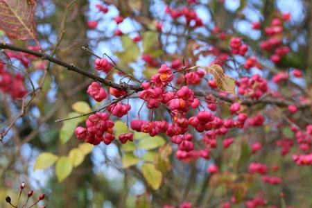 Euonymus / Strauch blühen im Herbst